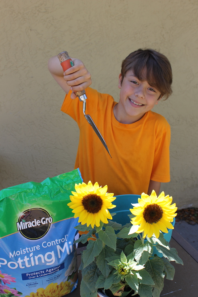 boy planting sunflowers with miracle gro