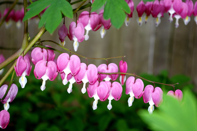 Close-Up Of Bleeding Heart Flowers