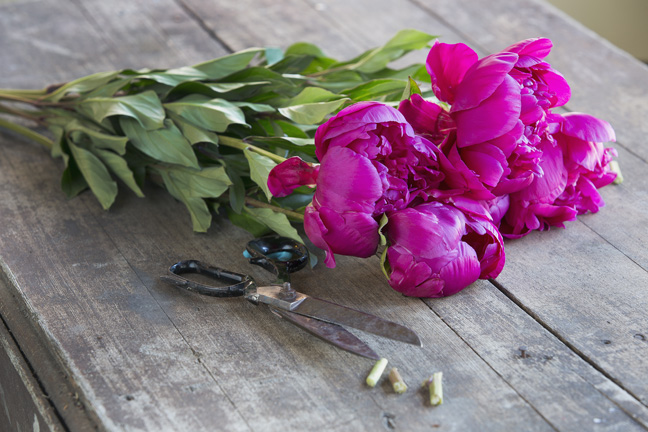 Fuchsia peonies and scissors on wood table